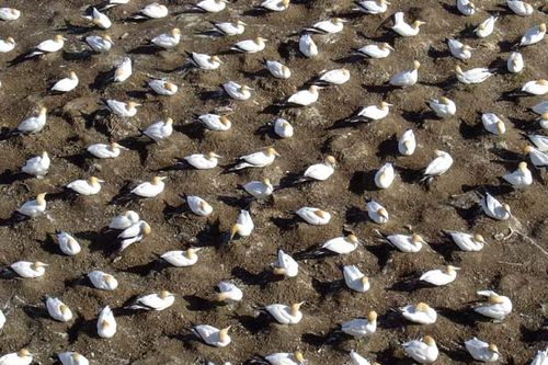 australian-gannets-nesting-3